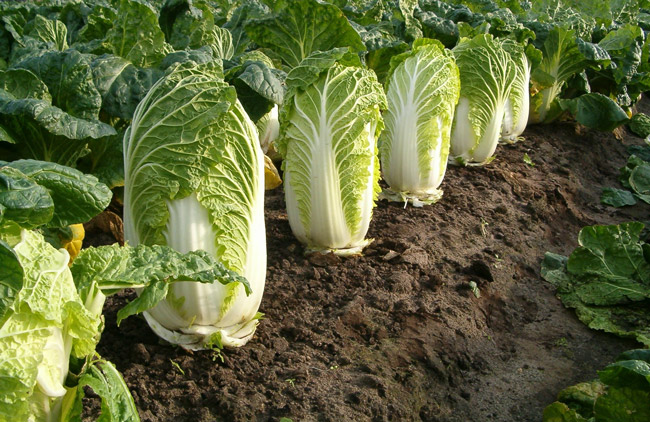 Celery Cabbage | Tem-Cole | Top Class | TC Marketing