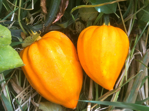Golden Acorn Squash | Tem-Cole | Top Class | TC Marketing
