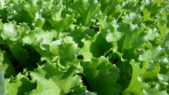 Green Leaf Lettuce | Tem-Cole | Top Class | TC Marketing