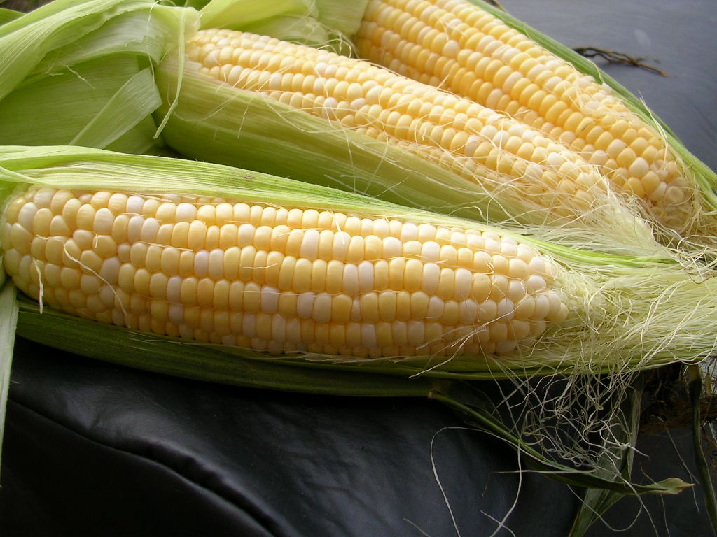 White Corn | Tem-Cole | Top Class | TC Marketing