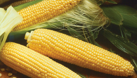 Yellow Corn | Tem-Cole | Top Class | TC Marketing